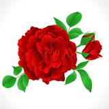 Red Rose with buds and leaves vintage  Festive background vector illustration editable. Hand draw Royalty Free Stock Images