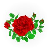 Red rose with buds and leaves vintage  Festive background vector illustration editable. Hand draw Stock Photos