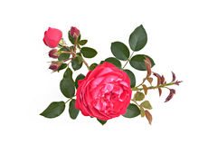 Red rose with buds and leaves on a white background (Latin name:. Rosa). Top view. Option 1 stock images