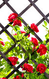 Red rose bush Stock Image