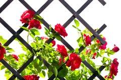 Red rose bush Royalty Free Stock Image