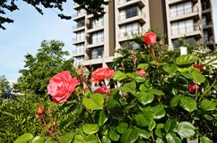 Red rose bush on background of an urban building royalty free stock images
