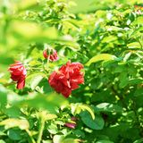 Red rose bush composition Royalty Free Stock Photography