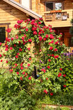 Red rose bush on the cottage house background Stock Photography