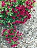 Red Rose Bush in frontyard garden Royalty Free Stock Photos
