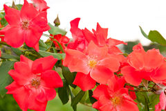 Red rose bush in a garden. Stock Photo