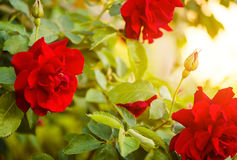 Red rose bush Royalty Free Stock Photos