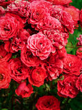 Red Rose Bush. Growing in the garden royalty free stock images