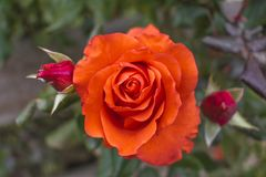 Red rose Bush grows on a bush. Royalty Free Stock Photo
