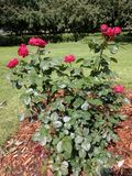 Red Rose Bush. Red roses at McKennon Park in Sioux Falls, SD royalty free stock photos