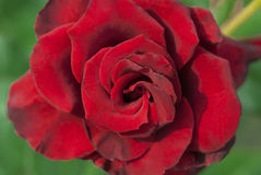 Red rose on the bush Royalty Free Stock Photo
