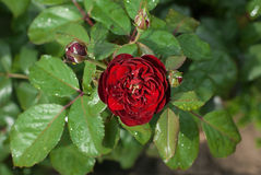Red rose on the bush Stock Images