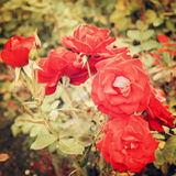 Red Rose bush - vintage effect. Stock Photo