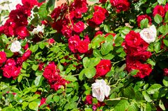 Red rose bushes with green leaves, a perfect gift for a woman for any occasion. Luxury view on a summer day royalty free stock photos