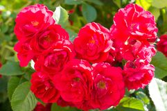Red rose bushes with green leaves, a perfect gift for a woman for any occasion. Luxury view on a summer day stock images