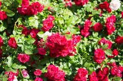 Red rose bushes with green leaves, a perfect gift for a woman for any occasion. Luxury view on a summer day stock image