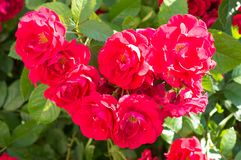 Red rose bushes with green leaves, a perfect gift for a woman for any occasion. Luxury view on a summer day stock photo