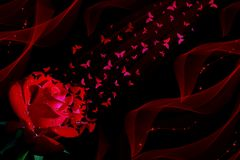 Red rose and butterflies on black background royalty free illustration