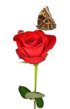 Red rose with butterfly and ladybug Stock Photography