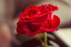Red rose in a cafe Royalty Free Stock Images