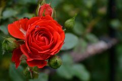 Red Rose. The classic red rose is often the best choice for expressing your deepest affection for that special someone stock photo