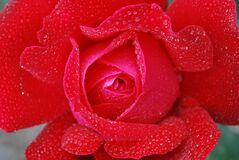 Red Rose With Clear Drop Waters Royalty Free Stock Image