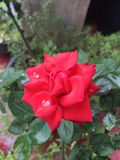 Red Rose. Click of rainy time Royalty Free Stock Photo