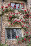 Red rose climbing up old cottage brick house with leaded windows UK. Climber scarlet flowers green leaves drain pipe old wood metal frame windows in kent England Royalty Free Stock Images