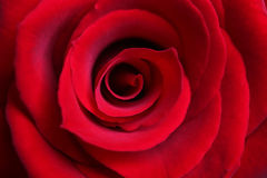 Red Rose close-up. Red rose blossom macro. Extreme close-up with shallow depth of field Stock Image