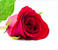 Red rose close up. Red Rose on white background Stock Image