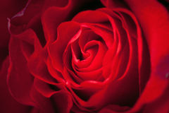 Red rose Close-up royalty free stock photo