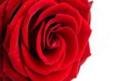 Red rose close up. Beautiful red rose close up over white background Stock Photo