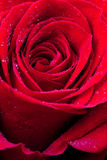 Red rose close up Royalty Free Stock Photos