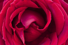 Red Rose close-up Stock Images
