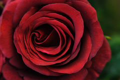 Red rose. Stock Photo