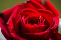 Red rose. Close-up of a red rose stock photography