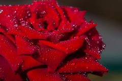 The red rose. The red rose with close up Stock Photos