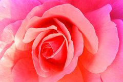 Red rose close up background. stock photography