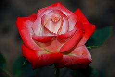 Red rose close up on dark background stock image