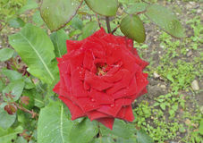 Red rose 5 Stock Photography