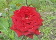 Red rose 7 Stock Photos