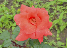 Red rose 9. A close up of the flower red rose with raindrops on petals Stock Photo