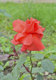 Red rose. A close up of the flower red rose with raindrops on petals Stock Image