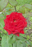 Red rose 8 Stock Photo