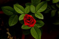 Free Red Rose Close Up Macro Top Front Shot With Leaves On A Dark Background Royalty Free Stock Images - 153478199