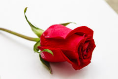 Red rose close up Royalty Free Stock Photography
