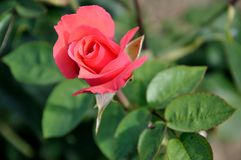 Red rose. Close up of pink rose flower in garden Stock Photography