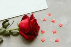 Red rose close up stock images