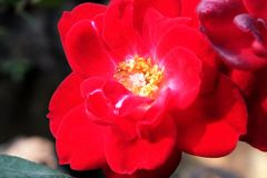 Red rose close up view royalty free stock images