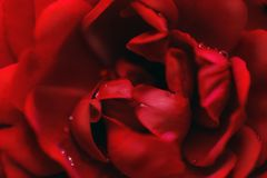 Red rose close up shot. With some waterdrops Stock Photos